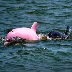 lumba-lumba pink